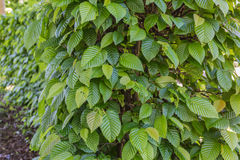 Common hornbeam. Is often cultivated as an ornamental tree, for planting in gardens and parks Stock Images