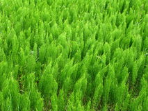 Field Horsetail Stock Photos