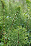 Common horsetail fern Stock Photography