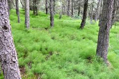Common horsetails covering the ground in a pine forest in Northern Iceland stock photos