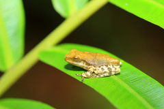 Common hour-glass tree frog Stock Photo