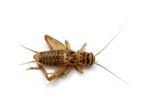 Common house cricket Royalty Free Stock Photography