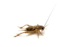 Common house cricket on white Royalty Free Stock Photos