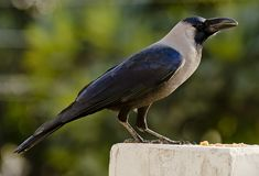 A common house crow. Feeding at a bird feeder in a garden stock photography