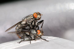 Common House Flies Mating Royalty Free Stock Photo