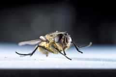 Common House Fly. A common house fly viewed close up Royalty Free Stock Photography