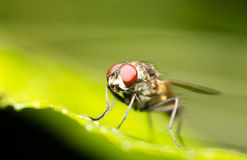 Common house fly. Close-up of a common house fly (Musca domestica Stock Photos