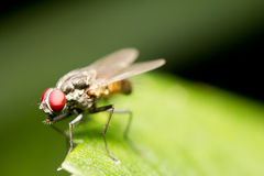 Common house fly Royalty Free Stock Images