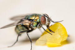 Common House Fly Eating a Piece of Corn. Up Close Portrait of a Common House Fly Eating a Piece of Corn Stock Photos