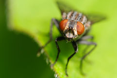 Common House Fly Stock Photos