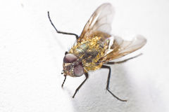 Common House Fly Macro Royalty Free Stock Photos