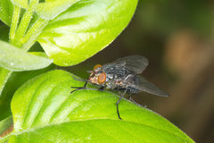 Common house fly (Musca Domestica) Royalty Free Stock Image