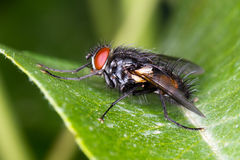 Common house fly (Musca Domestica) on a green leaf