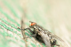 Common House Fly (Musca Domestica) Macro Stock Photography