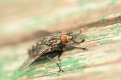 Common House Fly (Musca Domestica) Macro Stock Photos