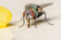 Common House Fly Next to a Piece of Corn. Up Close Portrait of a Common House Fly next to a Piece of Corn Stock Images