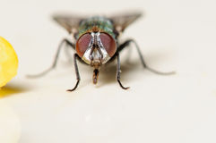 Common House Fly Next to a Piece of Corn. Up Close Portrait of a Common House Fly next to a Piece of Corn Royalty Free Stock Images