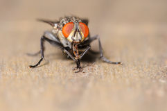 Common House Fly. A Common House Fly on a Piece of Wood Stock Photography