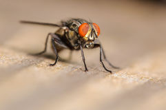 Common House Fly. A Common House Fly on a Piece of Wood Stock Photo