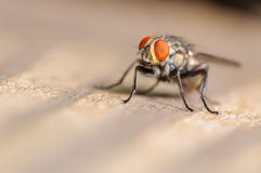 Common House Fly. A Common House Fly on a Piece of Wood Stock Images
