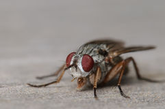 Common House Fly Portrait. Up Close Portrait of a Common House Fly Stock Photography