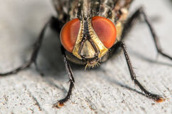 Common House Fly Portrait. Up Close Portrait of a Common House Fly Stock Image