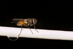 Common house fly resting on a white wire with a water drop Royalty Free Stock Images