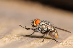 Common House Fly. A Common House Fly Stretching out it's Legs Stock Images