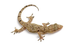 Common house gecko Royalty Free Stock Photo