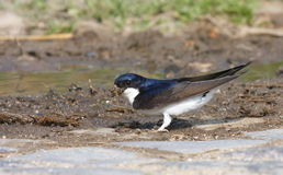 Common house martin Royalty Free Stock Image