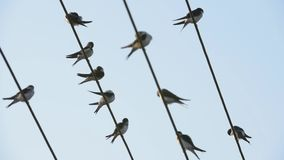Common house martin stock footage