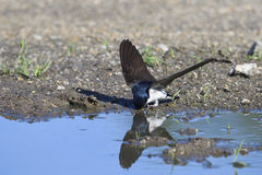Common House Martin Stock Images