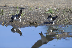 Common House Martin Royalty Free Stock Images
