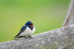 Common house Martin Royalty Free Stock Photography