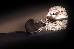 A Common house mouse (Mus musculus)   around burrows, and the ho Royalty Free Stock Image