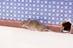 A Common house mouse (Mus musculus) from a hole in the wall Royalty Free Stock Photos