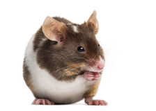 Common house mouse, Mus musculus, Royalty Free Stock Image