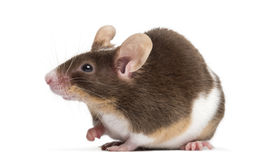 Common house mouse, Mus musculus, Royalty Free Stock Photos