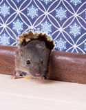 A Common house mouse (Mus musculus) looks out from a mink in the Royalty Free Stock Photography