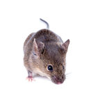 A Common house mouse (Mus musculus) sniffing on white background Stock Photo