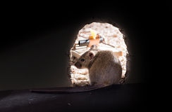 Common house mouse (Mus musculus)  thinks sitting in a hole or n Royalty Free Stock Photography