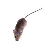Common house mouse (Mus musculus) on a white background. top vie Royalty Free Stock Photos