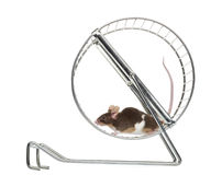 Common house mouse running in a wheel. Side view of a Common house mouse running in a wheel, Mus musculus, isolated on white Royalty Free Stock Photo