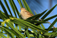 Common House Sparrow - Female Stock Image