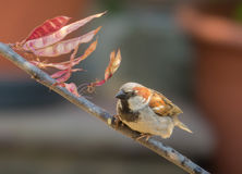 Common House Sparrow on Judas Tree Stock Photo