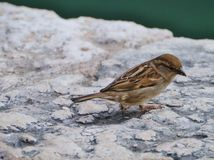A common house sparrow Royalty Free Stock Photo