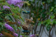 Common house sparrows at feeder. Royalty Free Stock Photography