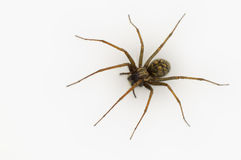 Common House Spider. A common house spider (Tegenaria gigantea) isolated on white Royalty Free Stock Images