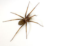 Common House Spider Stock Photography