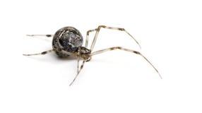 Common house spider - Achaearanea tepidariorum Royalty Free Stock Images